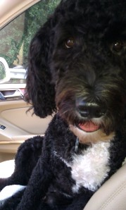 Obie, our Portuguese Water Dog