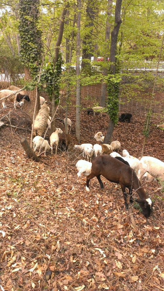 A small herd of sheep and goats on Ridgewood Drive in Buckhead!